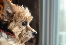 Photo of Fanbyte Staff Pet of the Month: Lily the Yorkie-Chihuahua