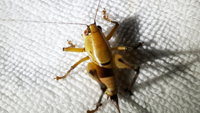 Photo of The Cricket in My Living Room, a Review